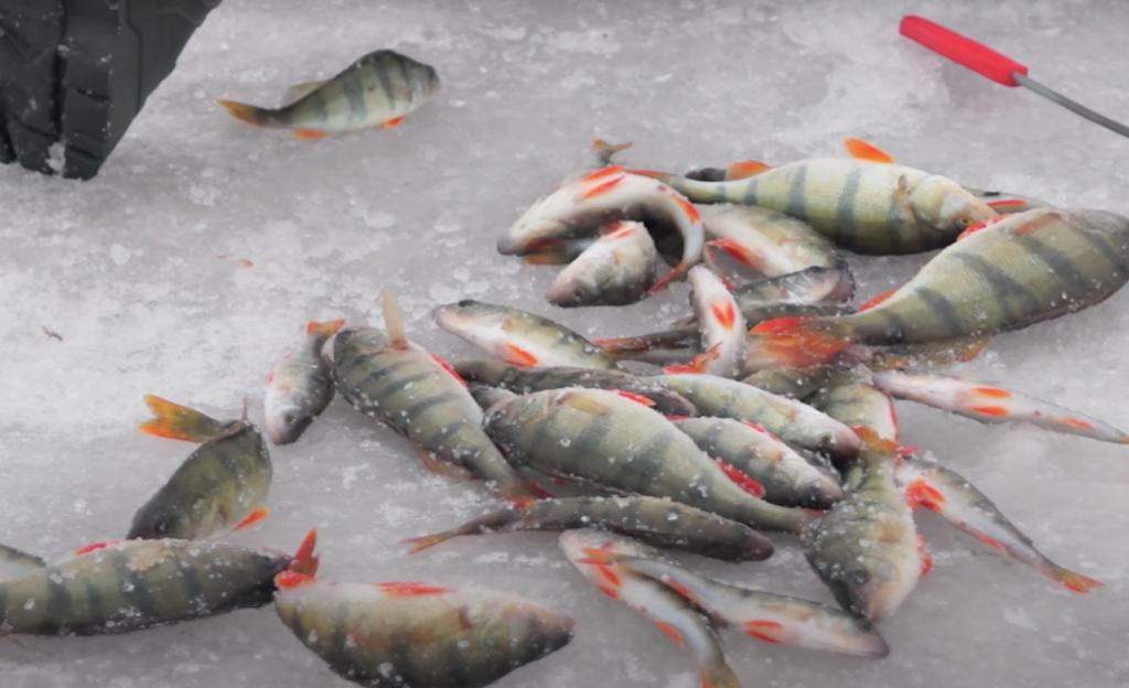 как ловить окуня по первому льду